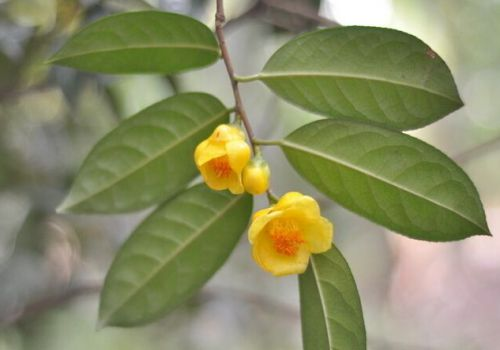 金花茶枝条