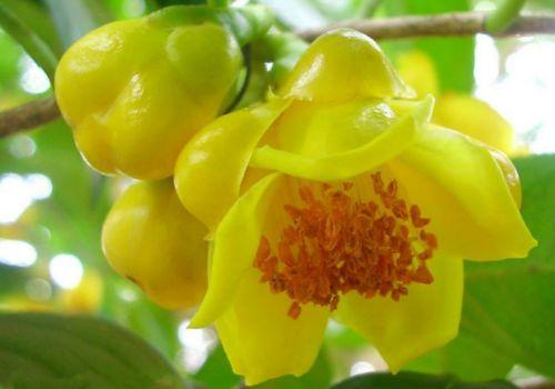 金花茶盛开的花朵