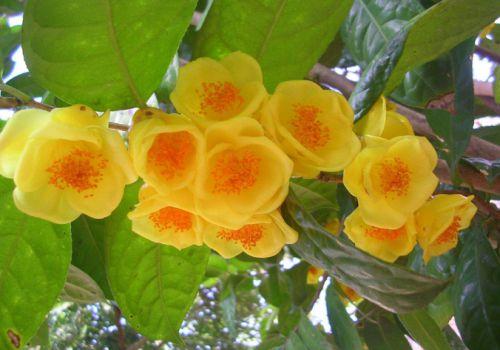 金花茶茂密的枝条
